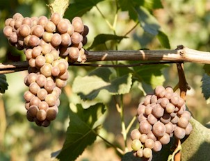 Scuppernong Wine